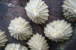 انواع صدف معدنی طیور