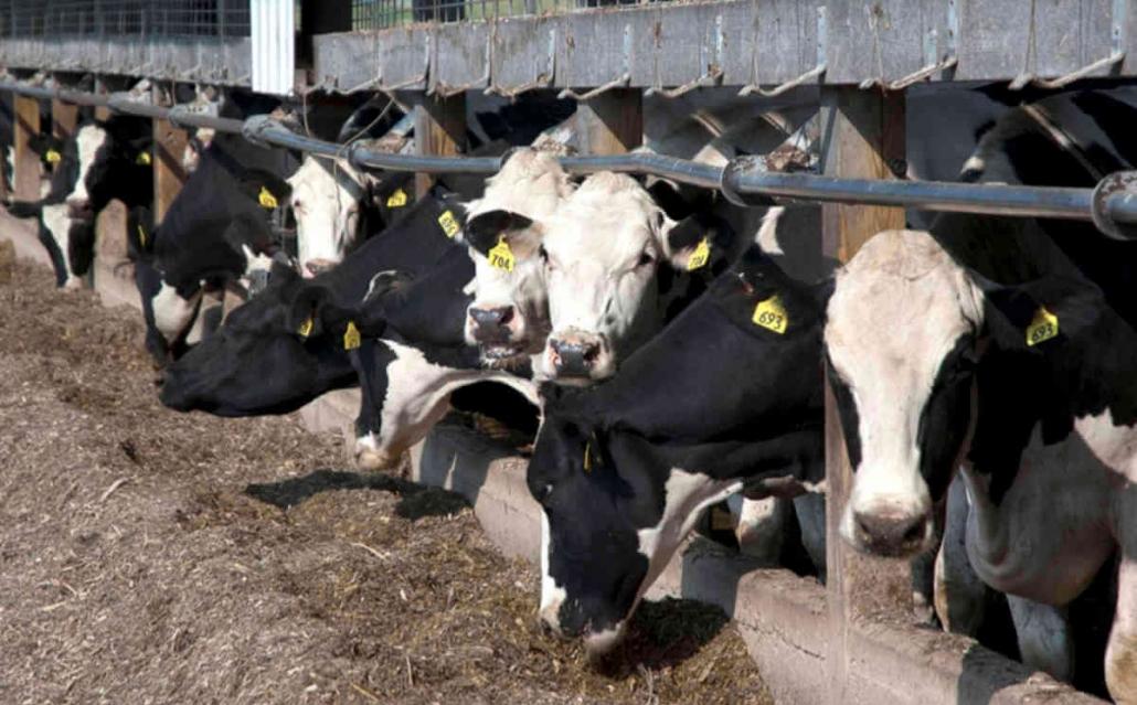 تولید کننده کنسانتره گاوی